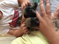 French bulldog babies
