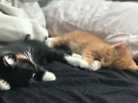(Ginger one sold) Male kittens for sale,