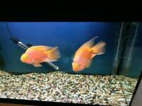 Fish tank and blood parrot fish for sar
