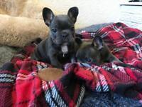 Blue frenchbulldog pups