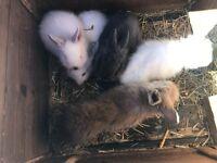 Ready now 5 baby lion head bunnies amazing