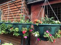 Beautiful Begonias - easy-care hanging baskets from Barnsley in Bloom champion