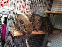 X4 male degu with cage