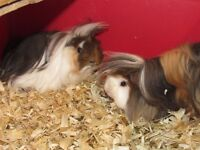 Long Haired Guinea Pigs and Cage