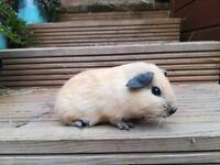 Well handled guinea pigs male & female