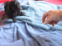 Miniature Poodle Dog Puppy for sale