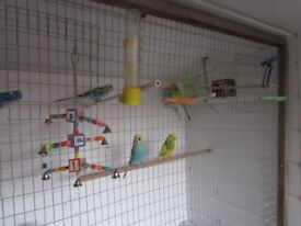 baby budgies semi tame