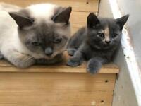 British shorthair kittens - last 2