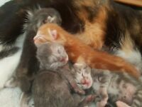 Beautiful litter of 5 kittens