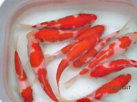 KOI CARP POND FISH FOR SALE 1-8 INCH