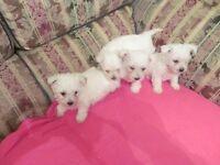 Westie X Bichon Frise pups