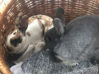 Two Bunnies For Sale