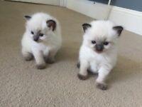 Ragdoll kittens for sale : £450 Ready 15/9/18
