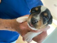 Parson Russell puppies 2 girls left now....! 7:8:20