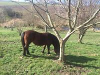 11.2hh Dartmoor x Mare