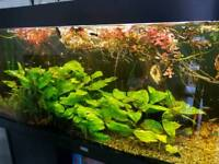 Juwel 100 Galons fish tank with cabinet and fish