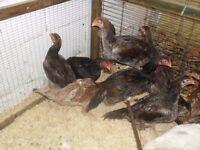 shamo chickens