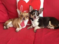 Two Very Affectionate very loving chihuahua brothers looking for there new loving homes