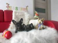 KC Reg Blue French Bulldog Puppy for Sale