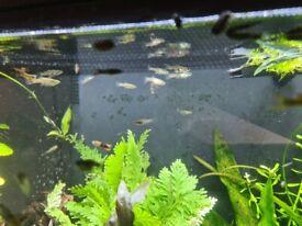 Endler's Guppys Poecilia wingei tropical fish