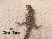 Baby Bearded Dragons - Citrus x Orange Leatherback