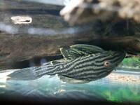 """Beautiful 6"""" red eye royal plec ( fish tank aquarium)"""
