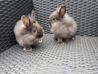 Baby Netherland X Lionhead rabbits