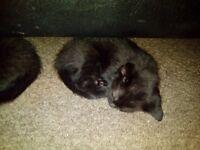 3 gorgeous black tabby kittens.