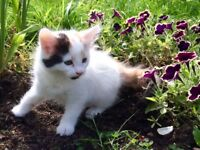 Healhy beautifull kittens female ginger black white multi cats lewisham bromley london