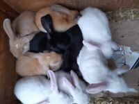 BOY AND GIRL WHITE BABY RABBITS READY TO LEAVE NOW £50 each or 2 for £80