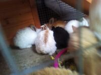 Giant Continental Bunny Babies ready to leave in 4 weeks