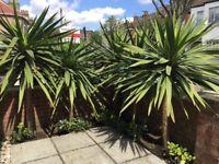 For sale: five large Cordyline Australis/Torbay Palm/Cabbage Palm plants.