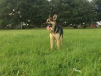 16 Month old female do (German Shephard x Collie/Whippet)