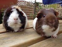Female guinea pigs for sale