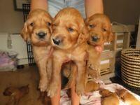 GOLDEN SETTER PUPPIES (golden retriever x red setter)