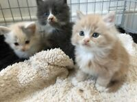 Pure pedigree Maine Coon Kittens