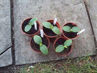 Cucumber plug plants - Perfection