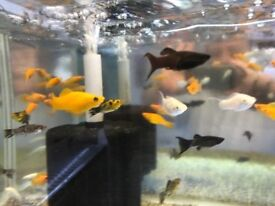 Molly peaceful community tropical fish