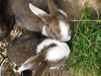 Bunnies for sale, last 2!! REDUCED