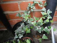 Plants for sale- Variegated English ivy plants in a 16 cm pot
