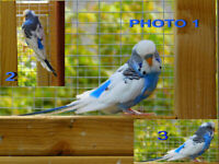 Budgies in Wales | Birds for Sale - Gumtree