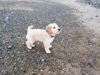 Stunning Apricot Cockapoo for sale