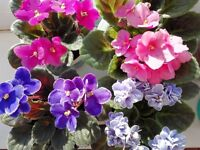 Saintpaulia, african violet, indoor, house young plants-5 different color