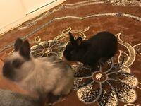 2 Male Netherland Dwarf Rabbits For Sale