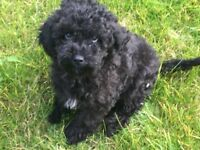Cavapoo FB1 puppy