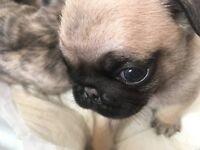 KC reg pug puppies £1100