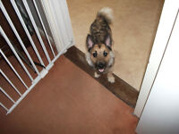8 MONTH OLD MALE JACK RUSSELL CROSS ALSATIAN