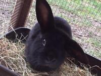 Beautiful half continental/French lop buck rabbit