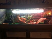 Male bearded dragon and viv for sale £250 for everything cost over £400 6 month ago