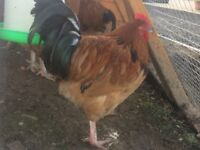 Buff Sussex Roosters